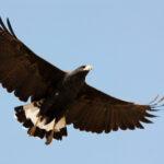 Aguila-Negra-ORIGINAL